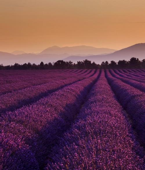 Giant Lavender-001